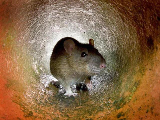 نشانه موش در دفینه یابی